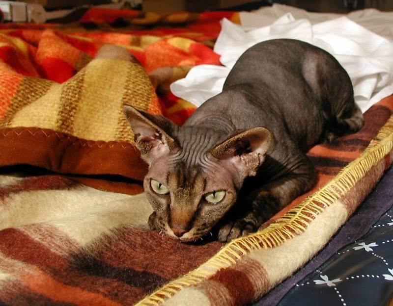 Котенок сфинкса в домашних условиях