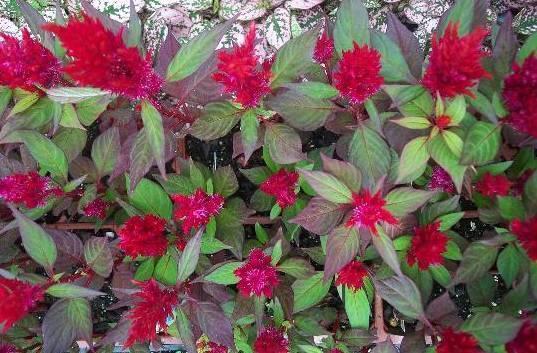 Цветы похожие на петушки фото