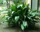 Аспидистра (Aspidistra) / Комнатные растения и цветы.