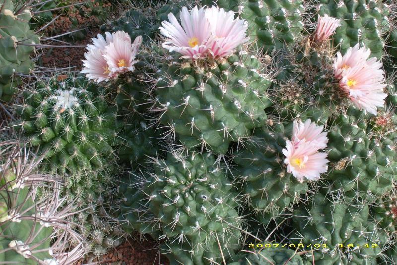 Kaktusi - Page 2 Foto-33365