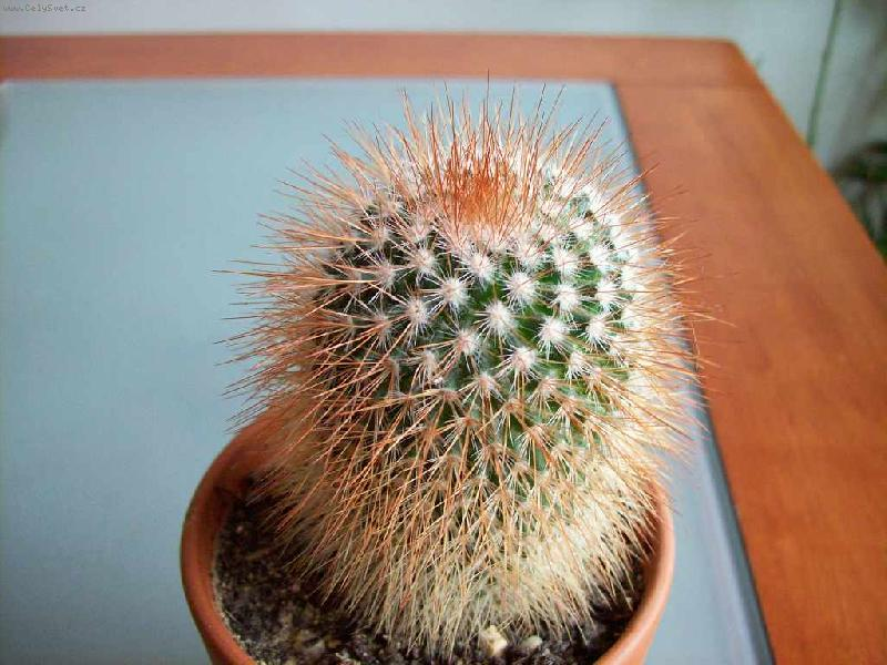 Kaktusi - Page 2 Foto-33434