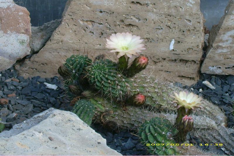 Kaktusi - Page 2 Foto-33577