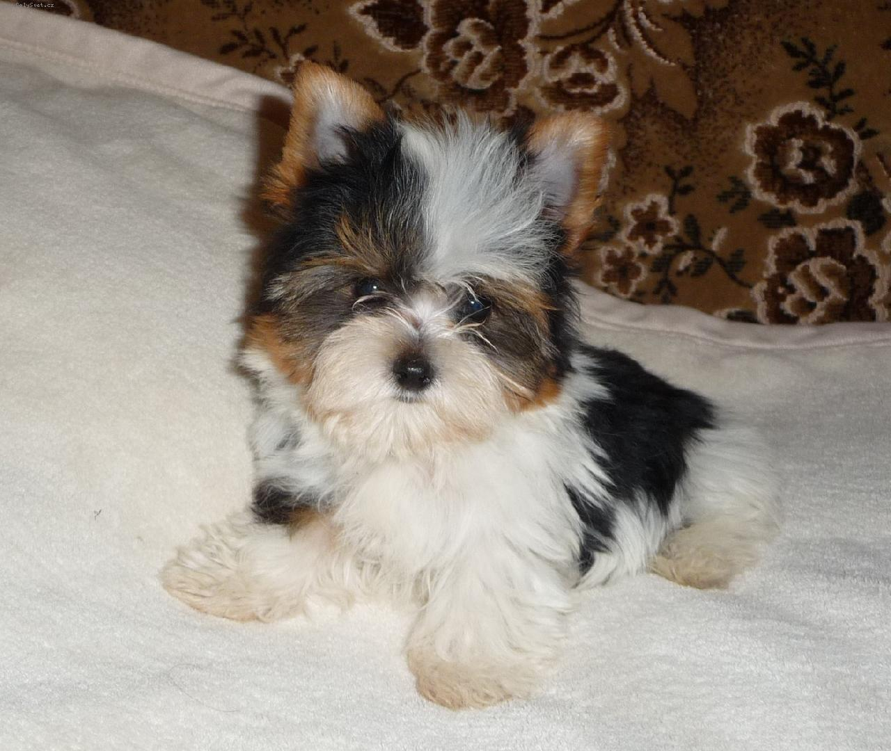 Biewer Yorkshire Terrier Puppies