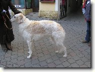 Borzoi – Russian Hunting Sighthound