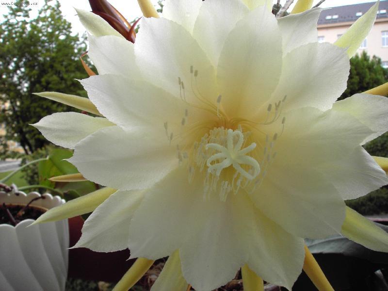 Kaktusi - Page 2 Foto-13436