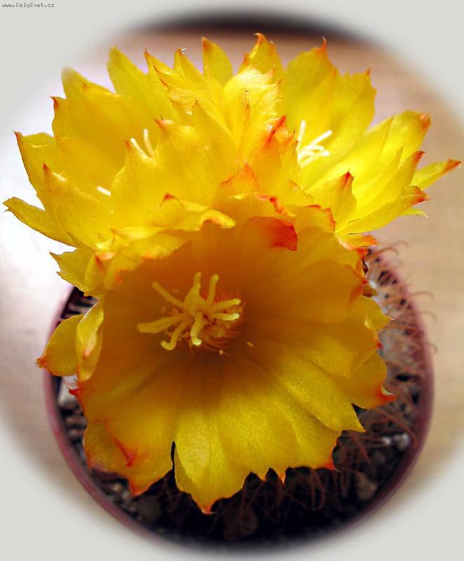 Kaktusi - Page 2 Foto-16603