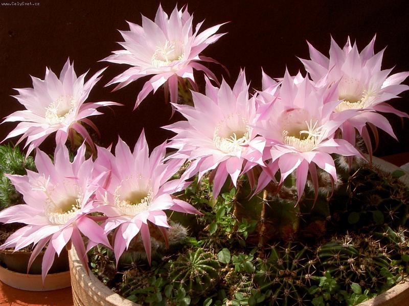 Kaktusi - Page 2 Foto-3290