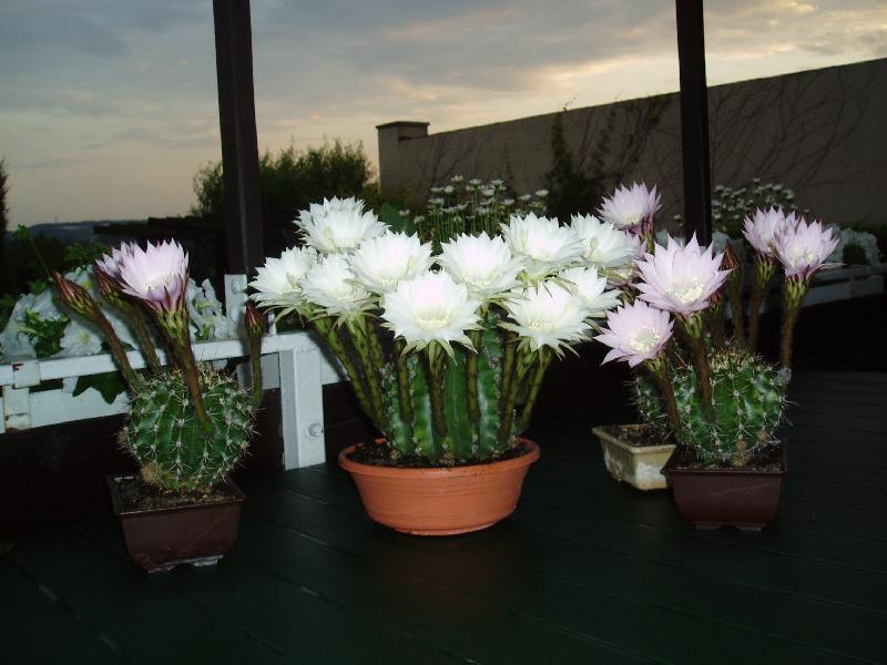 Kaktusi - Page 2 Foto-7816
