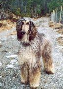 Photo: Afghan hound (Dog standard)