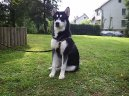 Photo: Alaskan malamute (Dog standard)