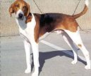 Photos: American foxhound (Dog standard) (pictures, images)