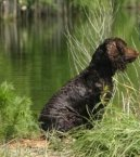 Photo: American water spaniel (Dog standard)