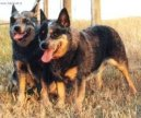 Photos: Australian cattle dog (Dog standard) (pictures, images)