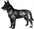 Photo: Australian kelpie (Dog standard)