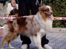 Photos: Australian shepherd (Dog standard) (pictures, images)