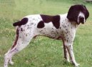 Photos: Auvergne pointer (Dog standard) (pictures, images)