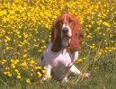 Photos: Basset hound (Dog standard) (pictures, images)
