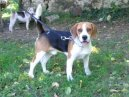 Photo: Beagle harrier (Dog standard)