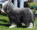 Photo: Bearded collie (Dog standard)
