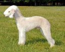 Photo: Bedlington terrier (Dog standard)