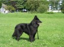 Photo: Belgian shepherd groenendael (Dog standard)