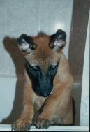 Photo: Belgian shepherd malinois (Dog standard)