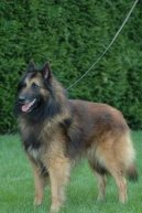 Photos: Belgian shepherd tervueren (Dog standard) (pictures, images)