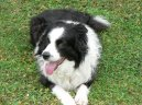 Dog breeds: Sheepdogs and cattle dogs