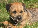 Photos: Border terrier (Dog standard) (pictures, images)