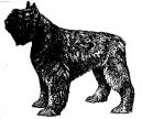 Photos: Bouvier des flandres (Dog standard) (pictures, images)