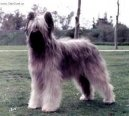 Photos: Briard (Dog standard) (pictures, images)