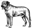 Photos: Broholmer (Dog standard) (pictures, images)