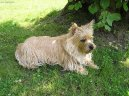Photo: Cairn terrier (Dog standard)