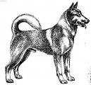 Dog breeds: Spitz and primitive types
