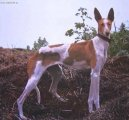 Photo: Canarian warren hound (canarian podenco) (Dog standard)