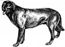 Dog breeds: Pinscher, schanuzer and molossoid breeds