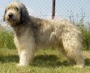 Photos: Catalonian sheepdog (Dog standard) (pictures, images)