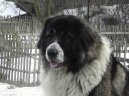 Photos: Caucasian shepherd (Dog standard) (pictures, images)