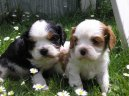 Photos: Cavalier king charles spaniel (Dog standard) (pictures, images)