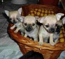 Photos: Chihuahua (Dog standard) (pictures, images)