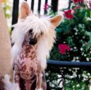 Photos: Chinese crested dog (Dog standard) (pictures, images)