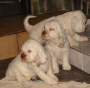 Photos: Clumber spaniel (Dog standard) (pictures, images)