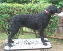 Photos: Curly coated retriever (Dog standard) (pictures, images)