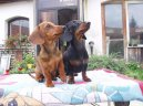 Photos: Dachshund (teckel) (Dog standard) (pictures, images)