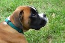 Photo: Deutscher boxer (Dog standard)