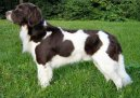 Photos: Drentsche partridge dog (Dog standard) (pictures, images)