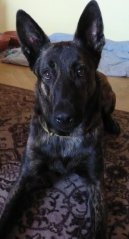 Photos: Dutch shepherd dog (Dog standard) (pictures, images)