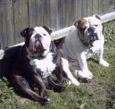 Photos: English bulldog (Dog standard) (pictures, images)