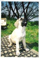 Photos: English Mastiff (Dog standard) (pictures, images)