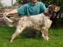 Photos: English setter (Dog standard) (pictures, images)